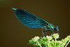 Beautiful Demoiselle damselfly, Surrey, May28.