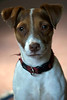 What Olympics? Pippa, our Jack Russell Terrier sits between me and the TV, unimpressed that the big rectangle is seizing all the attention. August 3.