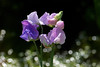 Sweet Peas, August 11.