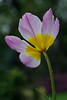 Tulip Saxatilis, May 8. This is a great little rockery tulip, comes up every year, now almost spent.