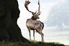 Fallow deer, Petworth, West Sussex, October 23.