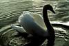 Swan at Goldsworth Park, Woking. Jan 9.